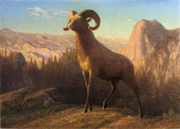 A Rocky Mountain Sheep Ovis Montana
